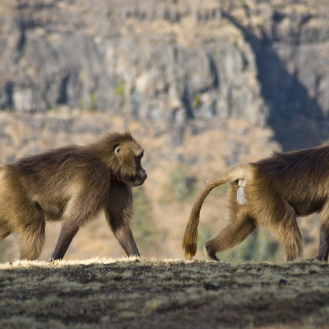 Jelada Paviane in den Bergen, Äthiopien