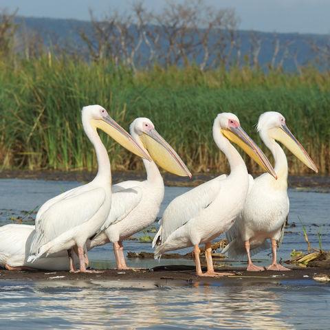 Pelikane am Chamo-See, Äthiopien