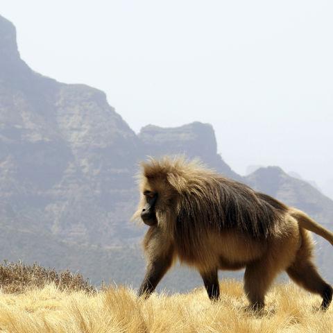 Dschelada-Pavian vor Bergen, Äthiopien