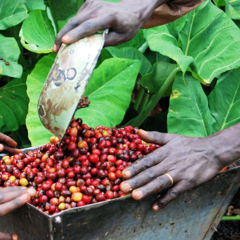 Grundlage einer typischen Kaffeezeremonie: frisch geerntete und später geröstete Kaffeebohnen, Äthiopien
