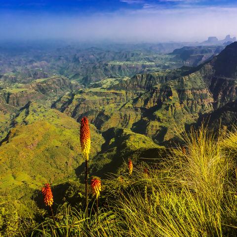 Am Rande des Abgrunds: Fackellilien (Kniphofia), Äthiopien