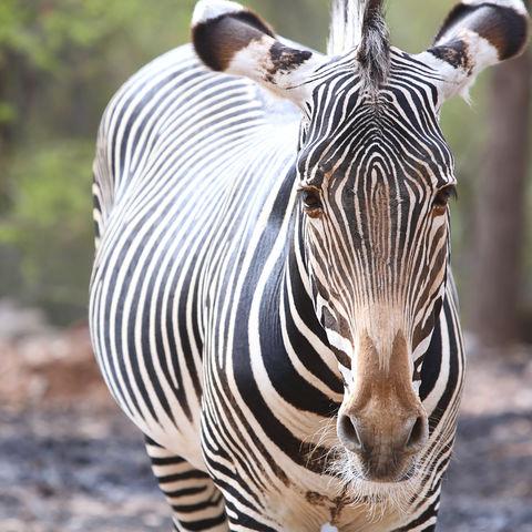 Zebra © Thinkstock, iStockphoto