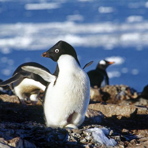 Kolonie von Adeliepinguinen, Antarktis
