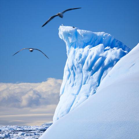 Albatrosse vor einem Eisberg, Antarktis