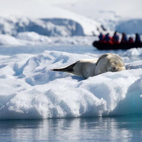 Robbe sonnt sich auf einem Eisberg, Antarktis