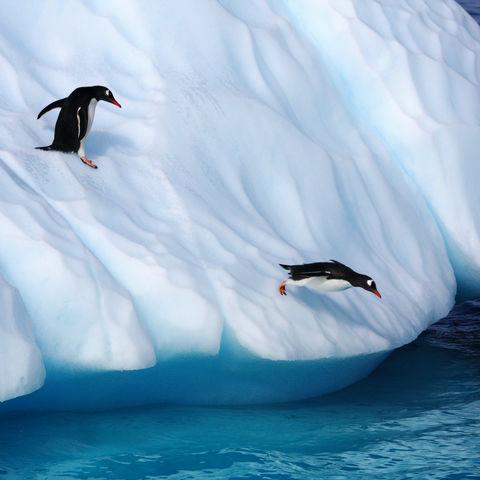 Abgetaucht: Eselspinguine von einem Eisberg springend, Antarktis