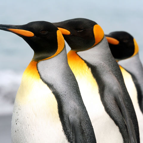 Kaiserpinguine im Gleichschritt, Antarktis