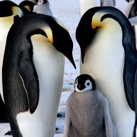 Mama- und Papa-Kaiserpinguin passen auf dich auf!, Antarktis