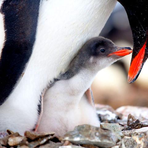 Pinguinküken mit Elternteil, Antarktis