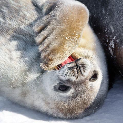 Robbenjunges im Schnee, Antarktis