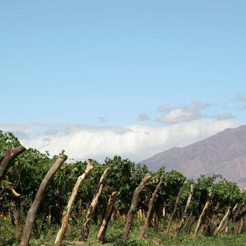 Weinstöcke und im Hintergrund die Anden, Argentinien