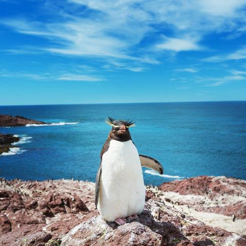 """Ein patagonischer Felsenpinguin mit seinem """"punkigen"""