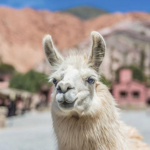 Lama in Purmamarca, Argentinien