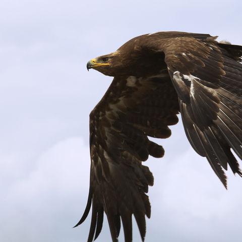 Ein Adler im Flug, Armenien