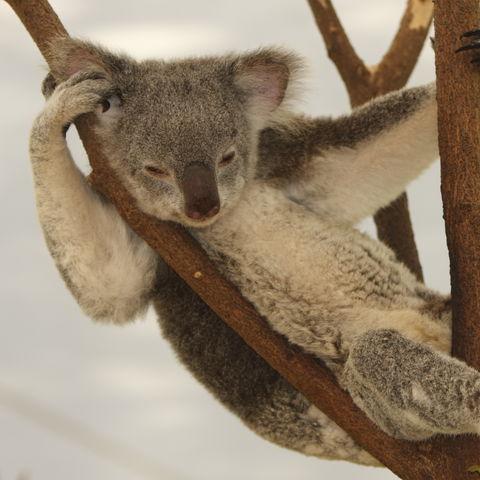 Faulenzender Koala im Eukalyptus Baum, Australien