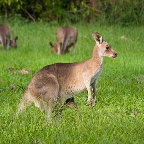 Känguru mit Baby im Beutel, Australien