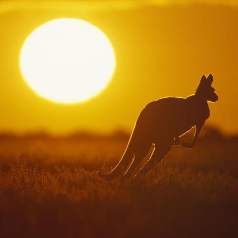 Dem Sonnenuntergang entgegen: Ein Känguru, Australien