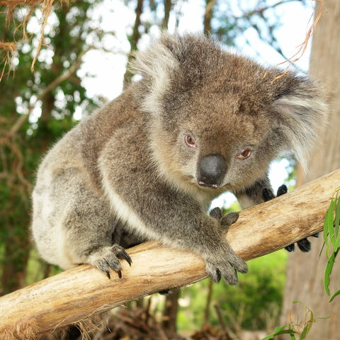 Koala an einem Baumstamm, Australien
