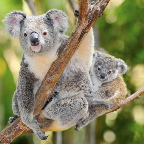 Koala mit Baby im Eukalyptusbaum, Australien