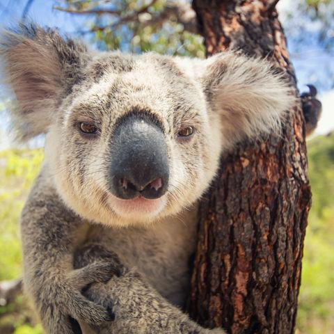 Ein fotogen-neugieriger Koala, Australien