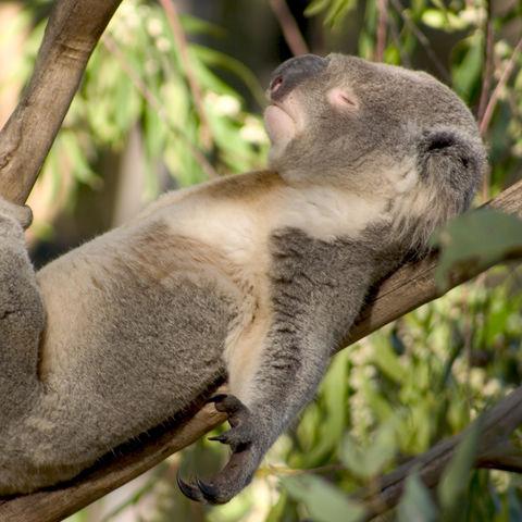 Schlafender Koala © Thinkstock, iStockphoto