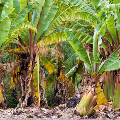 Bananenplantage im Norden von Queensland, Australien