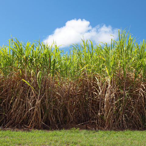 Zuckerrohrplantage im Norden von Queensland, Australien