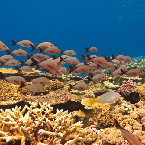 Bunter Fischschwarm im Great Barrier Reef, Australien