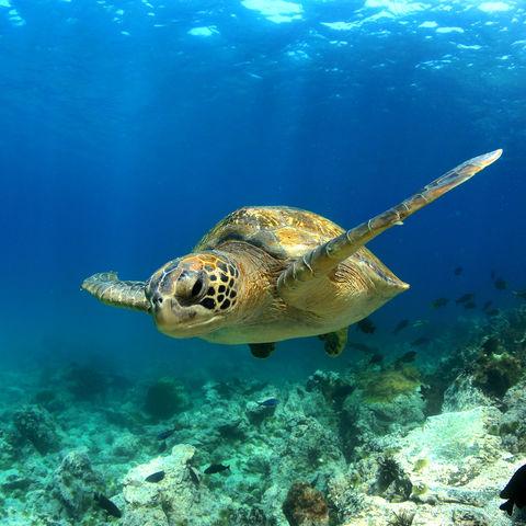 Schildkröte im Great Barrier Reef, Australien