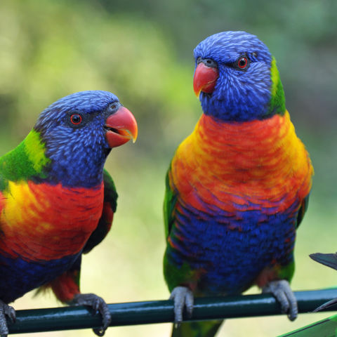 Regenbogenpapageie, Australien