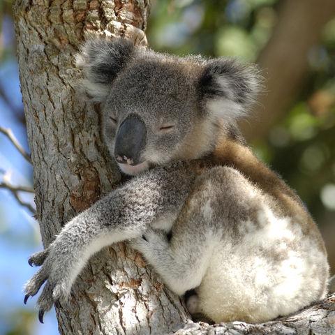 Schlafender Koala, Australien