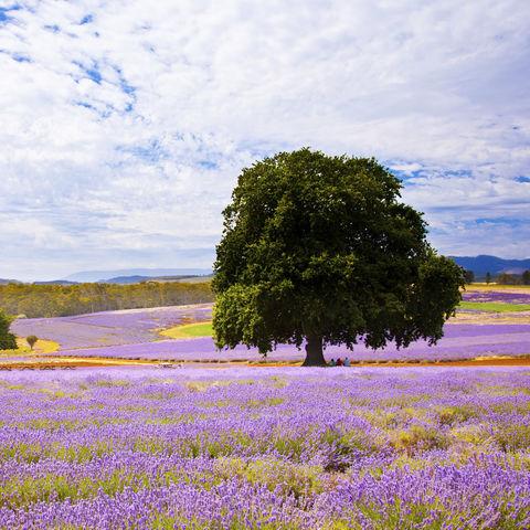 Lavendelfeld, Australien
