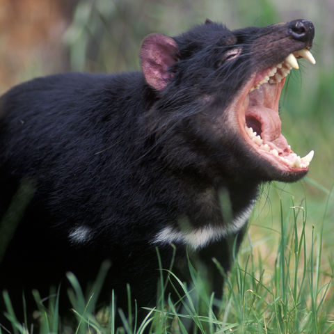 Tasmanischer Teufel, Australien