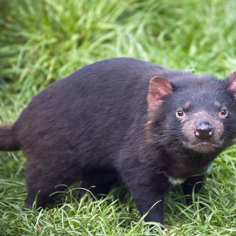 Nur noch in Tasmanien zu finden: Tasmanischer Teufel, Australien