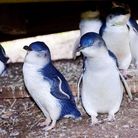 Pinguine auf Phillip Island, Australien