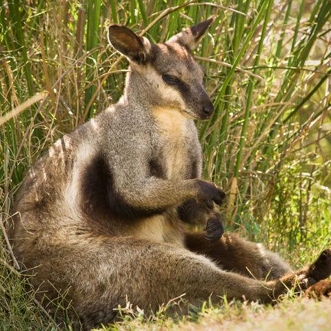 Wallaby im Schatten, Australien