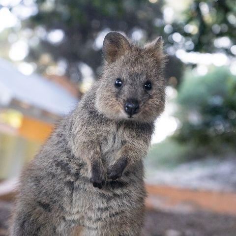 Ein Quokka auf Rottnest Island, Australien