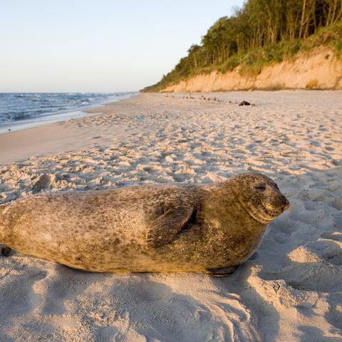 Robbe an der Ostseeküste, Baltikum