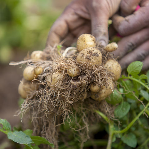Bengali bei der Kartoffelernte, Bangladesch