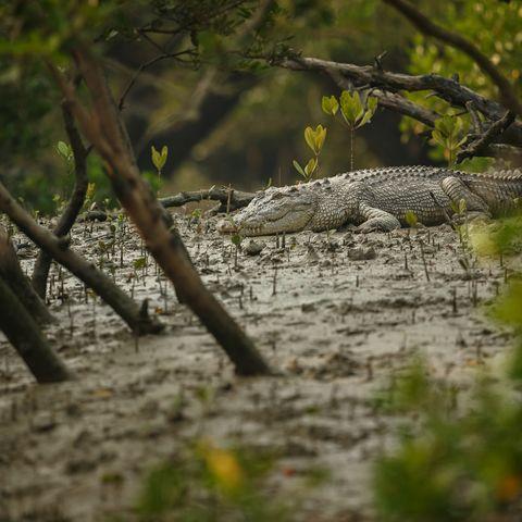 Krokodil in den Sundarbans, Bangladesch