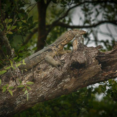 Eine Eidechse auf einem Baum in den Sundarbans, Bangladesch