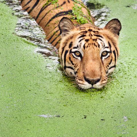 Dem Tiger auf der Spur, Sundarbans, Bangladesch