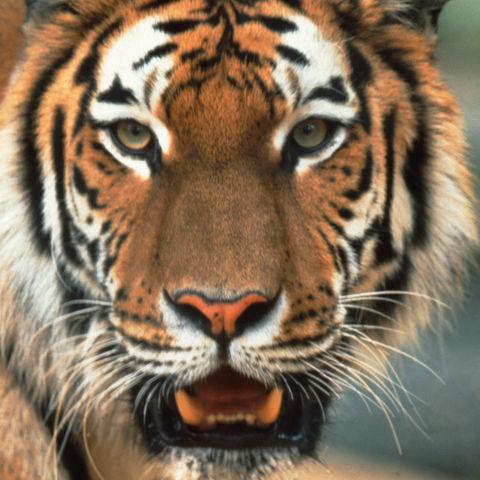 Ausdrucksstarker Tiger, Bangladesch