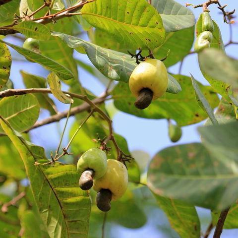 So wächst also die Cashewfrucht, aus der die Cashewnuss gewonnen wird, Belize