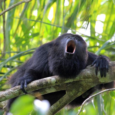 Macht seinem Namen alle Ehre: Schwarzer Brüllaffe im Regenwald, Belize