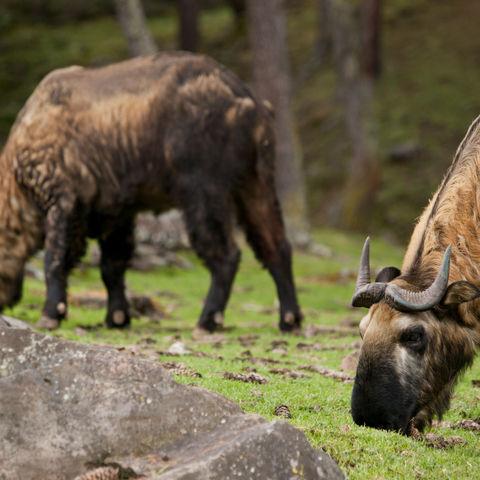 Das Nationaltier der Bhutaner, der Takin, Bhutan
