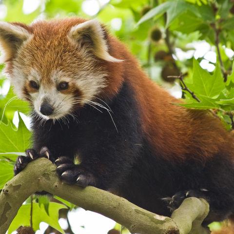 Niedlicher roter Panda, Bhutan