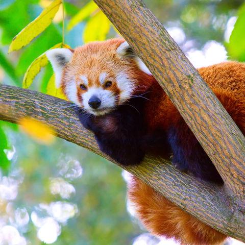 Roter Panda © Seawhisper, Dreamstime.com