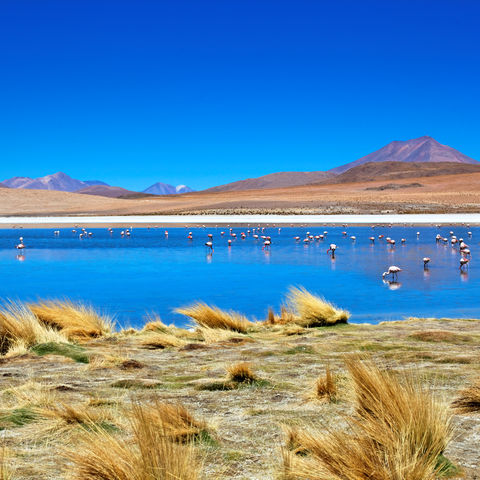 Flamingos in einer Laguna in der Altiplano, Bolivien