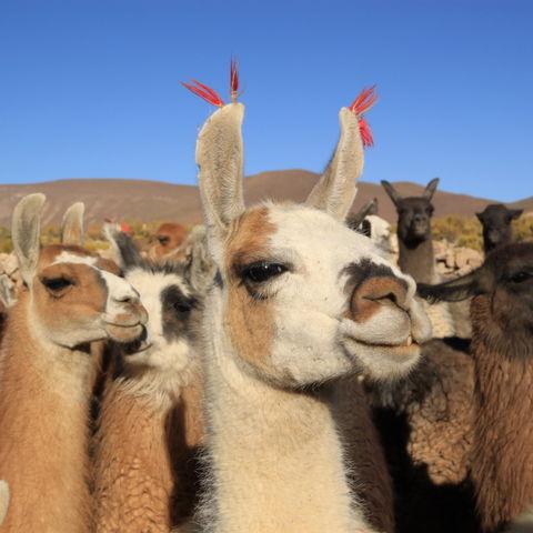 Bitte spuck mich nicht an!... Lamaherde auf dem Altiplano © Ingalin, Dreamstime.com